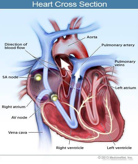 2013-illustration-heart-cross-section
